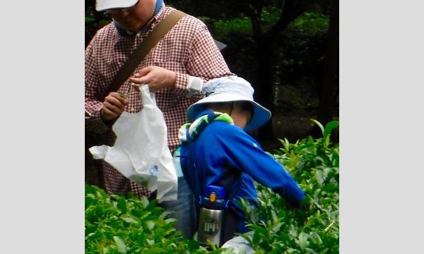 摘んで作ろう 手作り茶! in狭山 イベント画像1