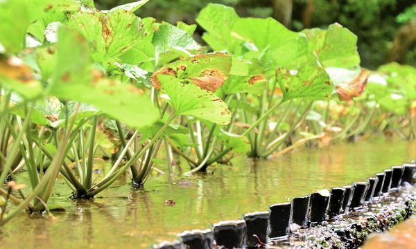10月9日(土)わさびの収穫体験をしてみよう ~伊豆の海の環境を考える~ イベント画像2
