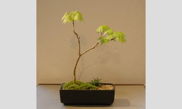 盆栽教室‐日本の暮らしと盆栽‐ イベント画像3