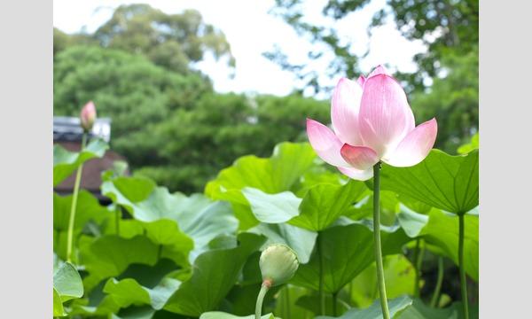Nozomi Co., Ltd. / 株式会社のぞみ の妙心寺退蔵院 7/7(日) 初夏「蓮見の会」イベント