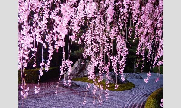 妙心寺退蔵院 夜間特別拝観1 Night Illuminations Tour1  4/12(水) イベント画像3