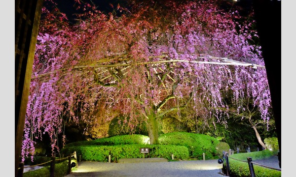 妙心寺退蔵院 夜間特別拝観2 4/12(木) イベント画像3