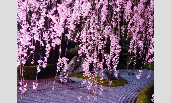 妙心寺退蔵院 夜間特別拝観1 Night Illuminations Tour1  4/16(日) イベント画像3