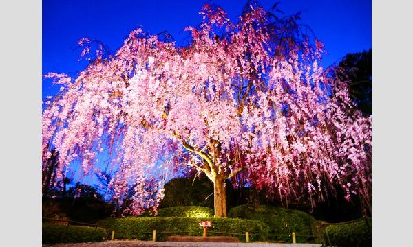 妙心寺退蔵院 夜間特別拝観2 Night Illuminations Tour2  4/2(日) in京イベント